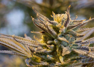 cannabis-2152602_1920
